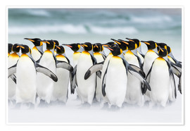Premium poster  King Penguins on Falkand Islands - Martin Zwick