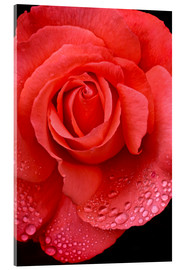 Acrylic print  Rose with water drops - Jaynes Gallery