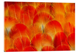 Acrylic print  Chest feathers of the Camelot macaw - Darrell Gulin