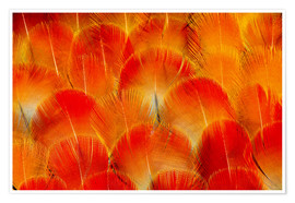 Premium poster  Chest feathers of the Camelot macaw - Darrell Gulin