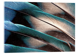 Acrylic print  Agaporniden tail feathers - Darrell Gulin