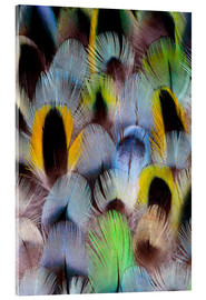 Acrylic print  Feathers of a Rosella Parakeet - Darrell Gulin