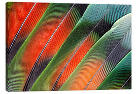 Canvas print  Fanned Agapornids feathers - Darrell Gulin