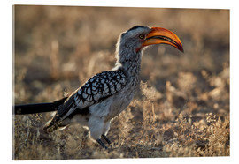 Acrylic print  Southern yellow-billed hornbill - James Hager
