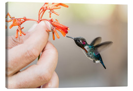 Canvas print  Hummingbird on a flower - Michael Nolan