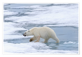 Premium poster  Polar bear on the Svalbard Islands - G & M Therin-Weise