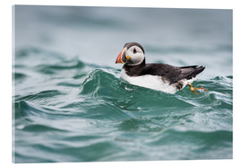 Acrylic print  Puffin riding a small wave - Matthew Cattell