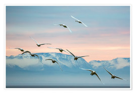 Premium poster  Whooper swans flying at sunset