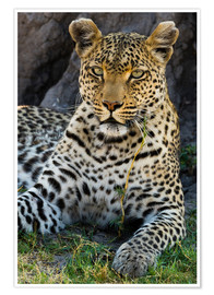 Premium poster  Leopard resting in the shade - Sergio Pitamitz