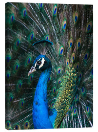 Canvas print  Indian Peacock - Andrew Michael
