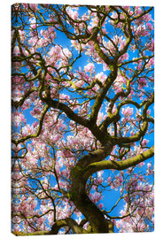 Canvas  Magnolia tree in bloom - Billy Stock