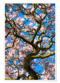 Premium poster Magnolia tree in bloom