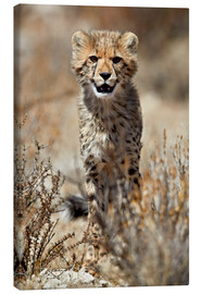 Canvas print  Cheetah cub - James Hager