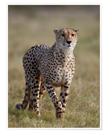 Premium poster  Watchful cheetah - James Hager