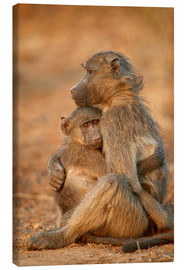 James Hager - Chacma baboon comforts a baby
