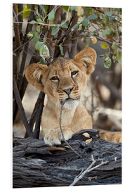 Foam board print  Lion cub chews on twig - James Hager