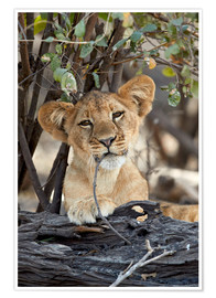 Premium poster  Lion cub chews on twig - James Hager