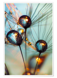 Premium poster  Dandelion umbrella with large dew drops - Julia Delgado