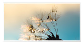 Premium poster Dandelion summer evening