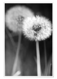 Premium poster  Dandelions black and white - Julia Delgado