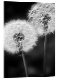 Acrylic print  Dandelion couple black and white - Julia Delgado