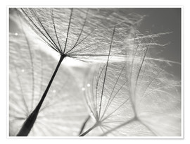 Poster  Dandelion Seeds Black and White - Julia Delgado