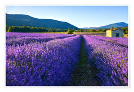 Premium poster Lavender field with hut