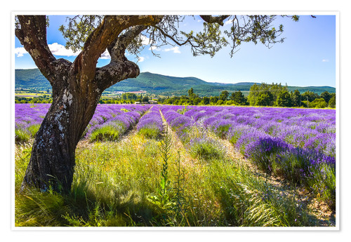 Premium poster View of the lavender field