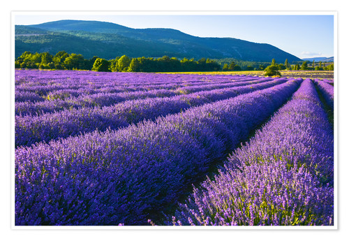 Premium poster Lavender dream of Provence