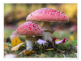 Premium poster  Toadstools in autumn leaves - Heiko Mundel
