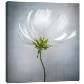 Canvas  Cosmos - Mandy Disher