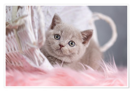 Premium poster British Shorthair kitten
